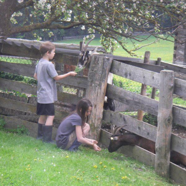 Kinder füttern Ziegen am Moserhof
