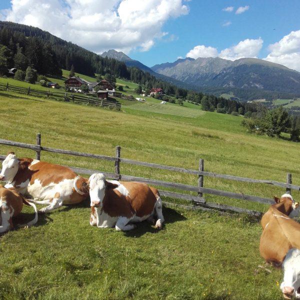 Moserhof Faningberg ein Paradies für Kühe